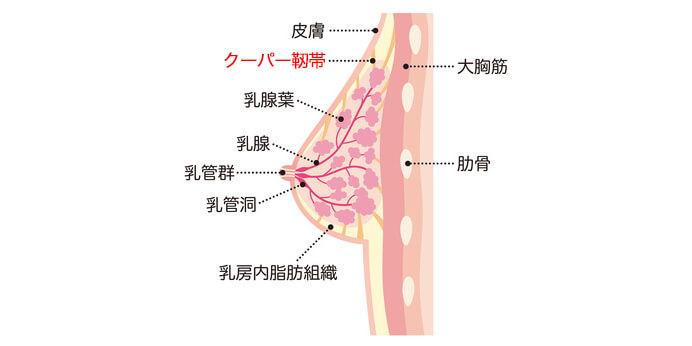 クーパー靭帯のイラスト