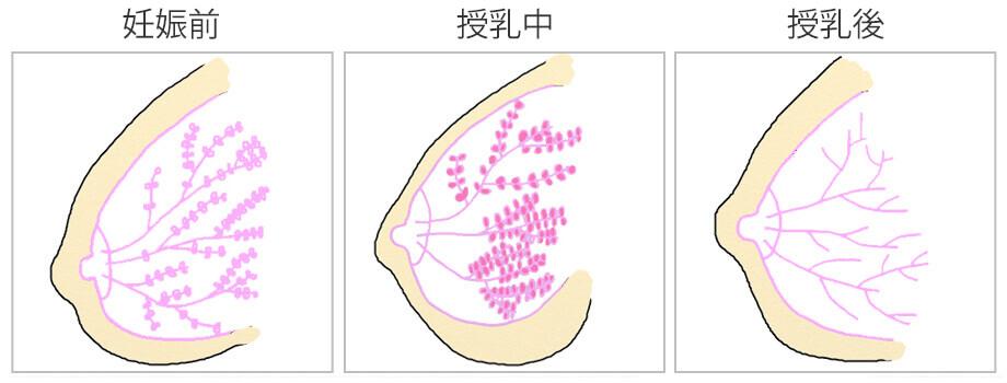 妊娠前から授乳中、授乳後にかけてのバストの脂肪と乳腺の割合