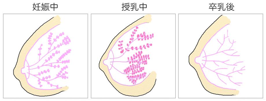 妊娠から出産、授乳後までのバストの中身の変化
