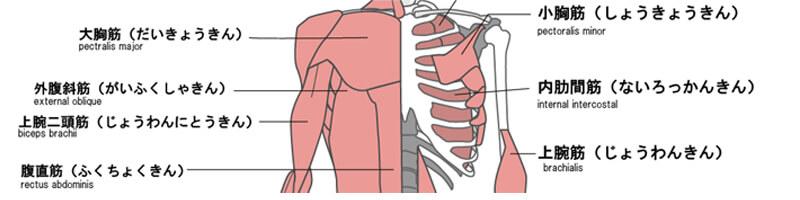 バスト周り筋肉